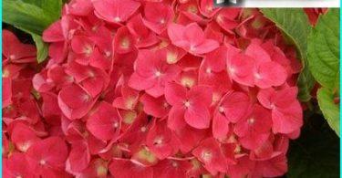 Hydrangea: salaisuudet istutus ja hoito kokeneiden puutarhurit