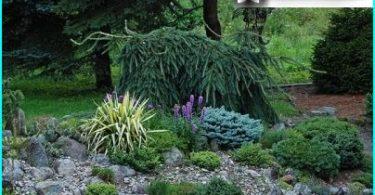 Juniper: istutus ja huolto sääntöjä, lajikkeiden valinta