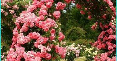 Istutus ja kasvaa ruusuja keväällä Siperiassa + valita kestäviä lajikkeita